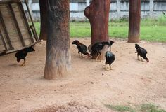 Many chicken foraging at dawn. Many chicken foraging at dawn in the morning Stock Image