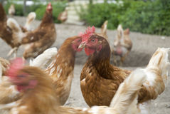 Many chickens on the farm Royalty Free Stock Image