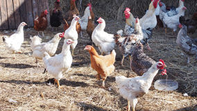 Many chickens at the poultry yard on a farm. Many chickens at the poultry yard in the farm royalty free stock images