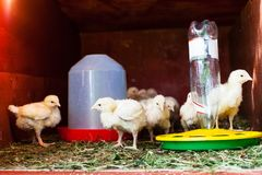 Many chicks in chicken coop near feeder. And drinking bowl stock photos