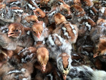 Many chicks at poultry farm Royalty Free Stock Images