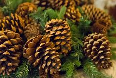 Many Christmas tree cones are brown with spruce branches close-up, traditional decoration is the basis of the festive New Year royalty free stock photography