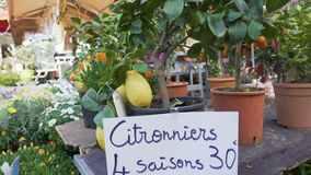 Many citrus fruit trees with lemons and oranges sold at orangery, market trade. Stock footage stock video