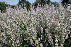 Many clary sage floral spikes with petals in light lavender and white. The flower spike of the essential oil plant clary sage has unique flowers with light stock photography