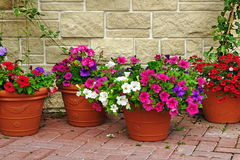 Many Clay Flowerpots With Blooming Plants At  Stone Wall Stock Photography