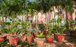 Many clay pots with tropical plants and flowers in a shady garden. Against palm trees and the house with pink walls Royalty Free Stock Photography