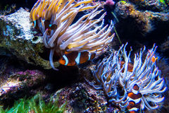 Many Clownfishes With Anemones royalty free stock image