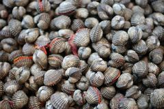 Many cockles are two types of shells that are economic animals.  royalty free stock images