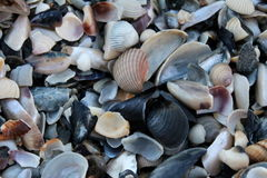 Many cockleshells Royalty Free Stock Photography