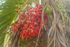 Many coconut tree fruits Stock Photo