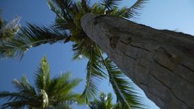 Many coconuts grow on a palm tree. A view from beneath a palm tree from below. A trunk of a palm tree. Thailand stock video