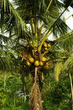 Many coconuts on a palm. It's a view on coconuts in a coconut palm in Bali royalty free stock image