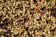 Many coffee beans are drying Royalty Free Stock Photo
