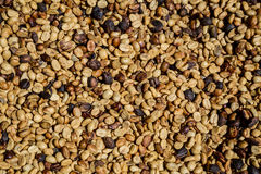 Many coffee beans are drying Royalty Free Stock Image