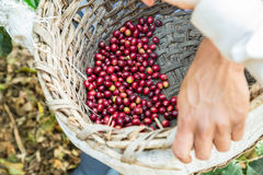 Many coffee cherries in a basket. Many red coffee cherries in a basket Royalty Free Stock Photography
