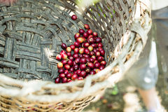 Many coffee cherries in a basket. Many red coffee cherries in a basket Stock Photography