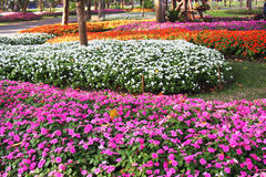 Many color of catharanthus roseus Stock Photo