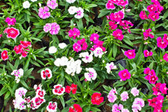 Many color flowerbed of Dianthus barbatus. Royalty Free Stock Photography