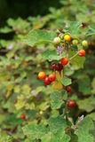 Many color of solanum. There are many color of solanum on solanum tree Stock Photo