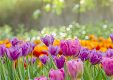 Many color of tulip Stock Image