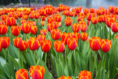 Many color of tulip in garden Stock Image