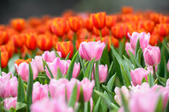 Many color of tulip in garden Royalty Free Stock Images