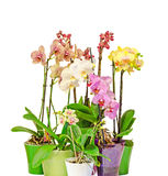 Many colored branch orchid flowers with buds, green leaves, in vibrant colored vases, flowerpots, Orchidaceae Stock Photos
