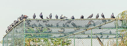 Many colored doves, pigeons on the roof, outdoor, close up Stock Photo