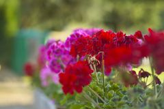 Colored geraniums Royalty Free Stock Photo