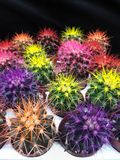 Many colored little prickly cacti in pots. Multicolored succulents. Echinocactus. Flowers. flower varieties exotic potted plant on black background stock photos