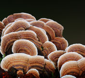 Many-colored Polypore Fungus. A cluster of many-colored polypore fungus stock images