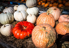Many-colored pumpkins. Pumpkins on a table at the Outhouse Orchard, North Salem, NY Stock Image