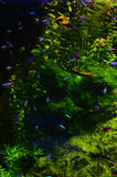 Many colored small fish float deep in the algae Royalty Free Stock Photos