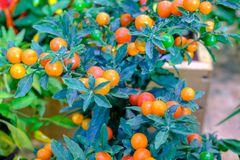 Many colorful decorative chilli papers in the pot stock photography
