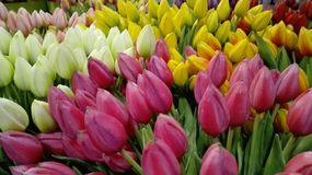 Many colorful Dutch tulips in the foreground. pink amsterdam flowers, white and yellow. bucolic symbol of Holland.  stock photo