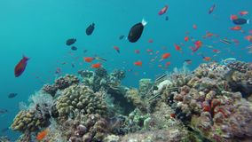 Many colorful fish in a beautiful coral reef. On the Maldives stock footage