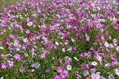 Many colorful flowers of petunias in shades of pink. Many colourful flowers of petunias in shades of pink royalty free stock image