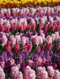 Many colorful hyacinths growing under the spring sunlight in park Stock Photo