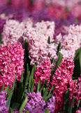 Many colorful hyacinths growing under the spring sunlight in park Royalty Free Stock Image