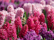 Many colorful hyacinths growing under the spring sunlight in park Royalty Free Stock Photo