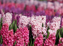 Many colorful hyacinths growing under the spring sunlight in  park Stock Photography