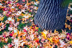 Many colorful maple leaves on ground with tree trunk. Many colorful maple leaves lying on ground near tree trunk with textured bark. Autumn season. Closeup Stock Photography