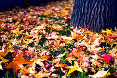 Many colorful maple leaves on ground with tree trunk. Many colorful maple leaves lying on ground near tree trunk with textured bark. Autumn season. Closeup Royalty Free Stock Photo