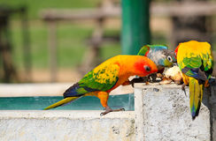 Many colorful parrot enjoy eating food Stock Photos