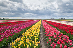 Many colorful tulips on fields Royalty Free Stock Photo