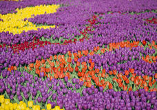Many colorful tulips on fields during spring Royalty Free Stock Images