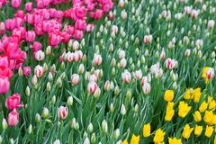 Many colorful tulips in a park Stock Photos