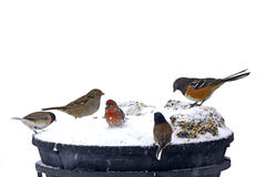 Many Colorful Yard Birds In Snow. Many colorful little yard birds in winter snow on feeder Royalty Free Stock Photography