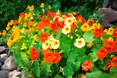 Many colors of beautiful shades. From dairy to red, in different shades, this beautiful flower grows in a garden on a fenced-stone wall stock photos