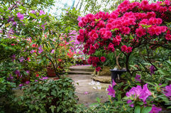Many colors colorful azaleas. Royalty Free Stock Photography